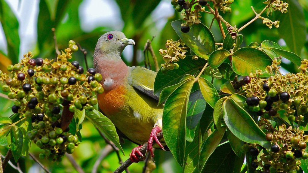 Pink-necked green pigeon. © The Tongsai Bay